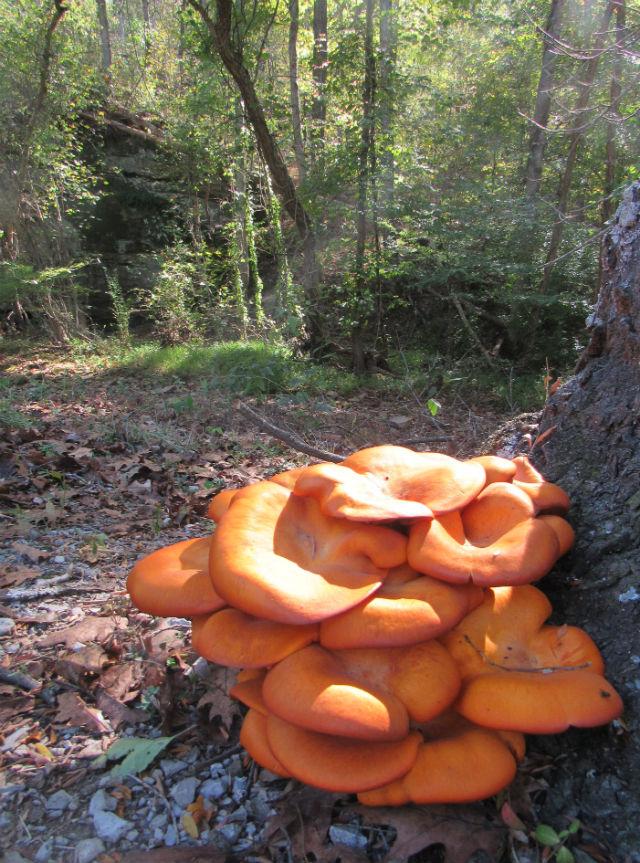 jack-o-lantern mushroom_9304