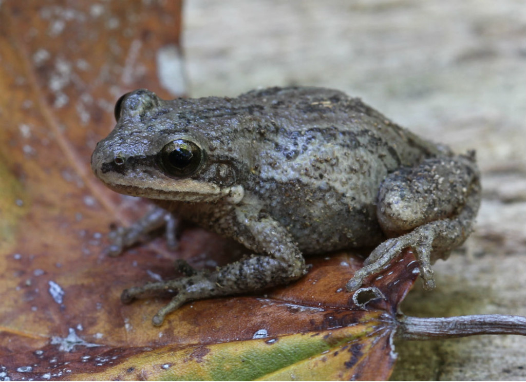 upland chorus frog_1556