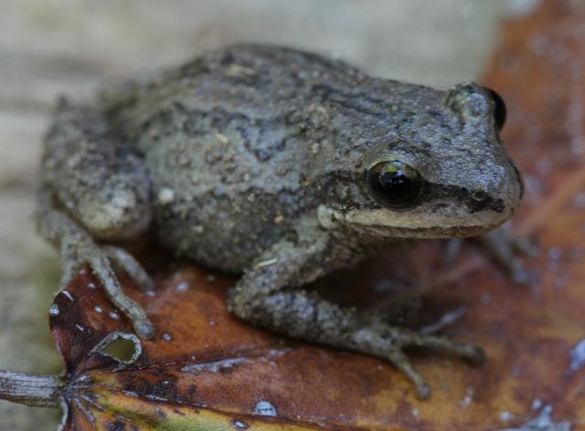 upland chorus frog_1557