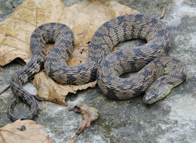 Diamondback Water Snake_13675