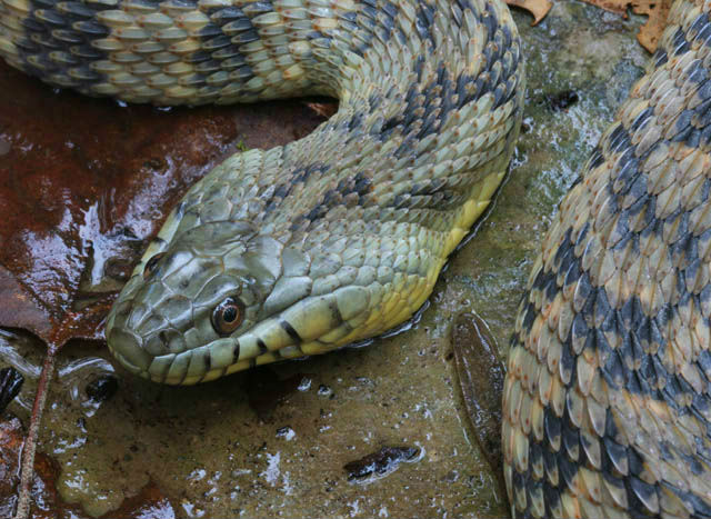 Diamondback Water Snake_1516