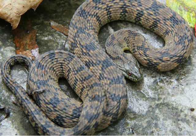 Diamondback Water Snake_1558