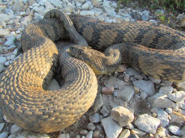Diamondback Water Snake_2