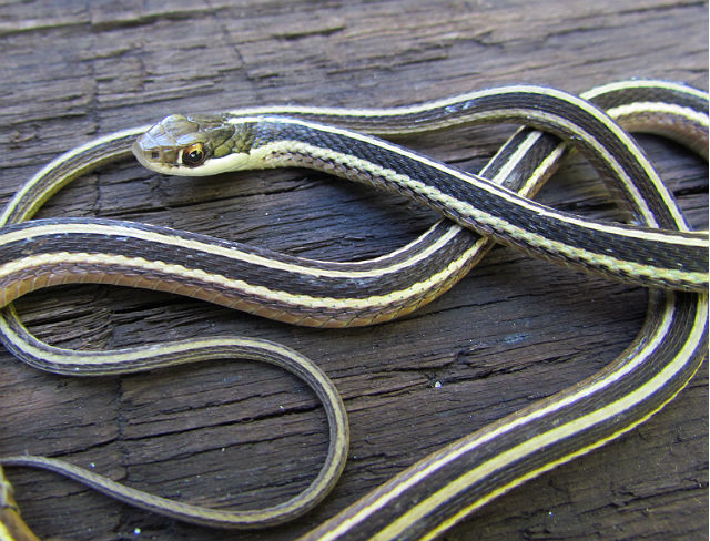 Eastern Ribbon Snake_6723