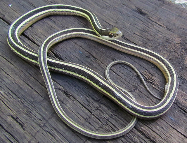 Eastern Ribbon Snake_6724