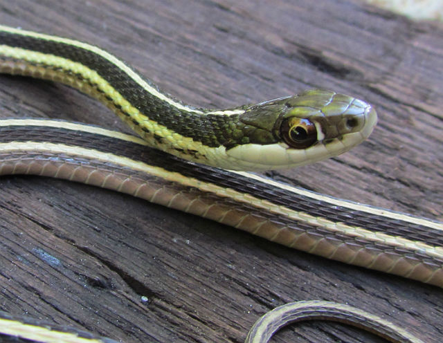 Eastern Ribbon Snake_6727