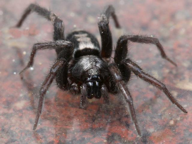 Eastern Parson Spider_8954