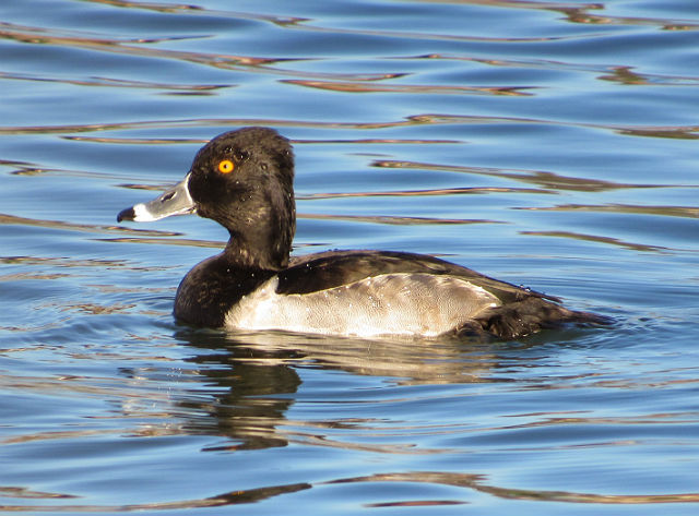 Ring-necked Duck_0828
