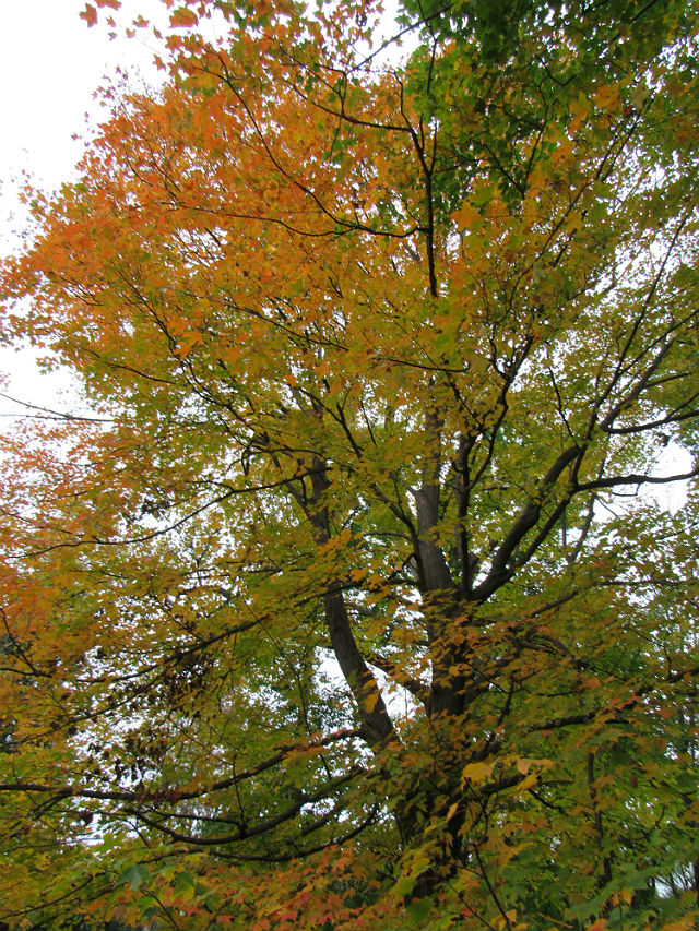 Red Maple_0101