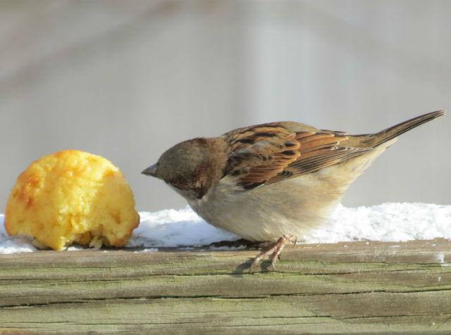 house sparrow_0064