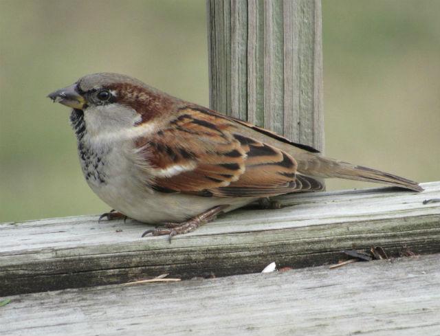 house sparrow_1469
