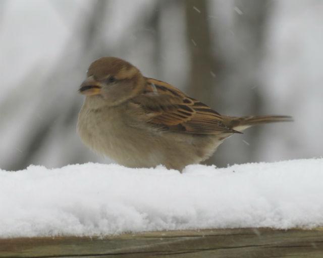 house sparrow_9959
