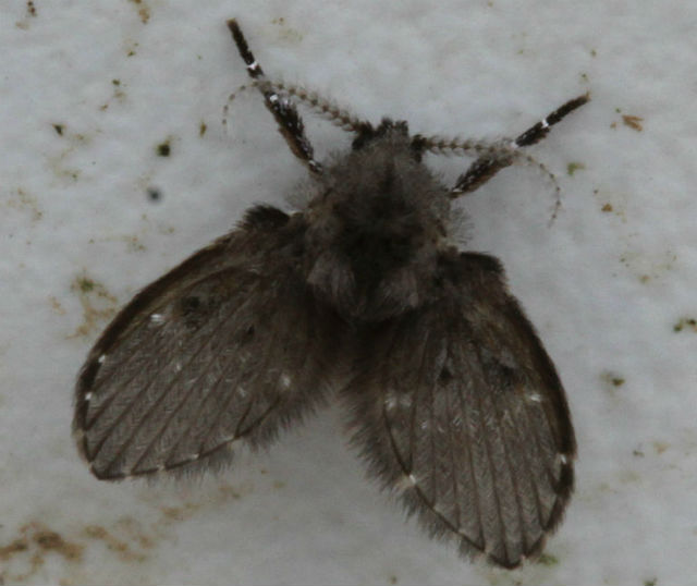 mothfly_9041