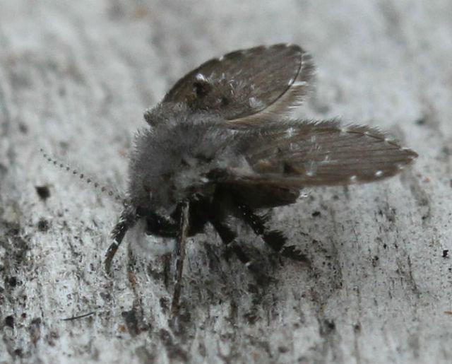 mothfly_9047