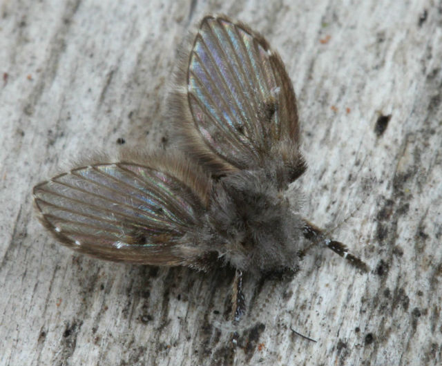 mothfly_9051