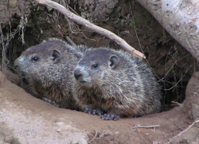 2 groundhogs_3152