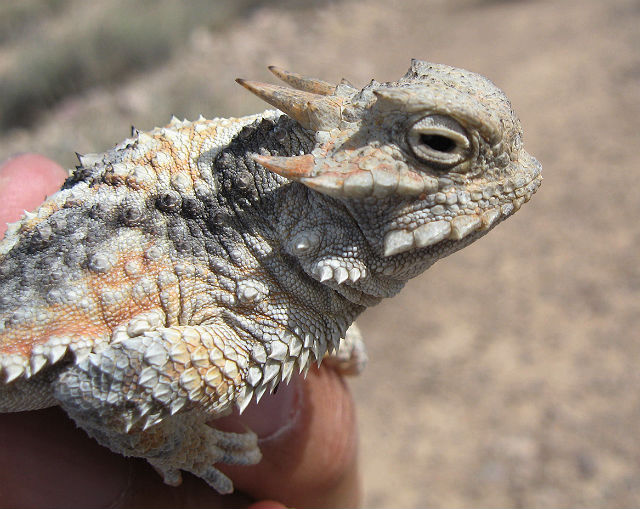 Desert Horned Lizard 358