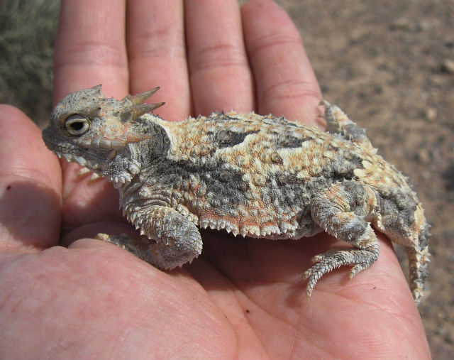 Desert Horned Lizard 361