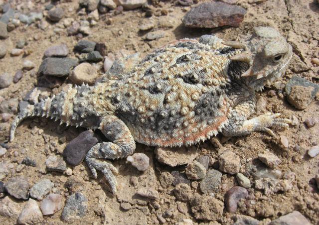 Desert Horned Lizard 363