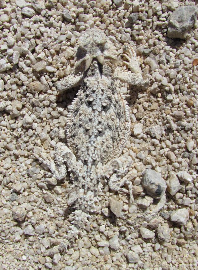 Desert Horned Lizard_7843