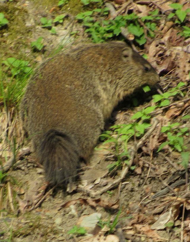 Groundhog_3820
