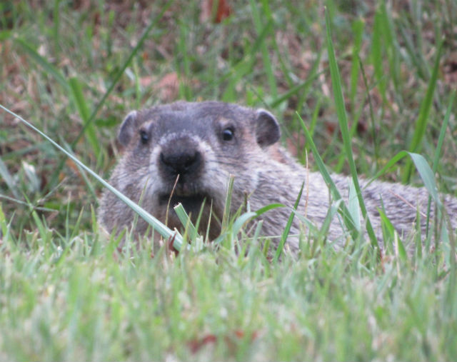 Groundhog_9654