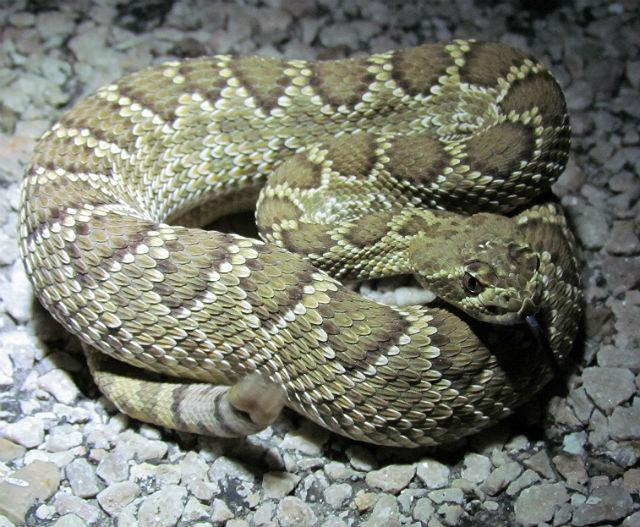 Mojave Rattlesnake 126