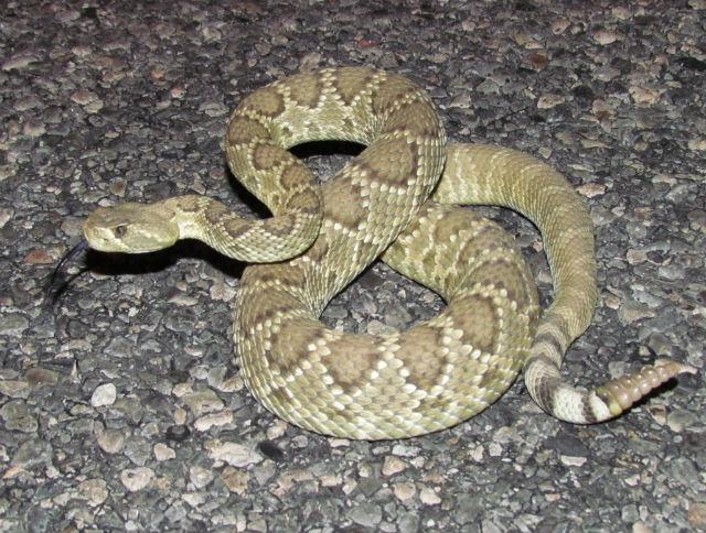 Mojave Rattlesnake_0372