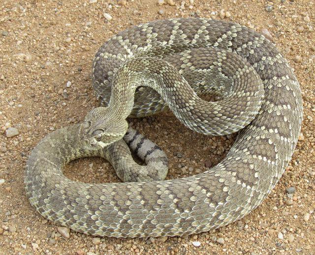 Mojave Rattlesnake_0433