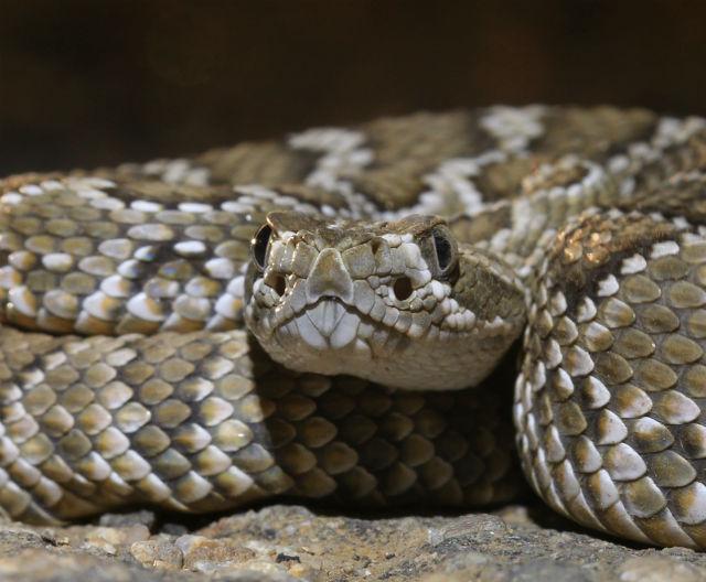 Mojave Rattlesnake_6009