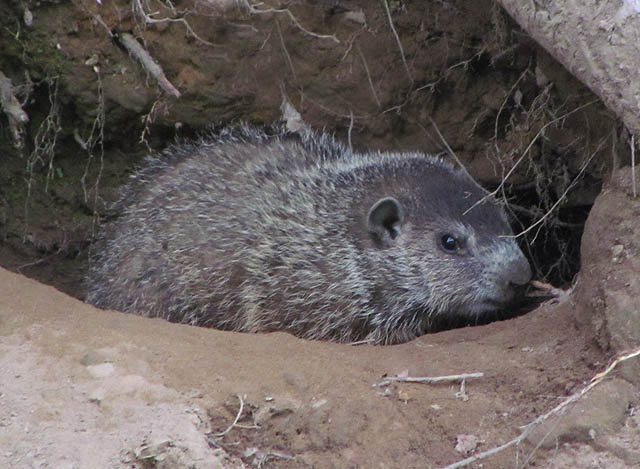 groundhog_3146