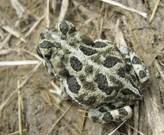 Great Plains Toad 101