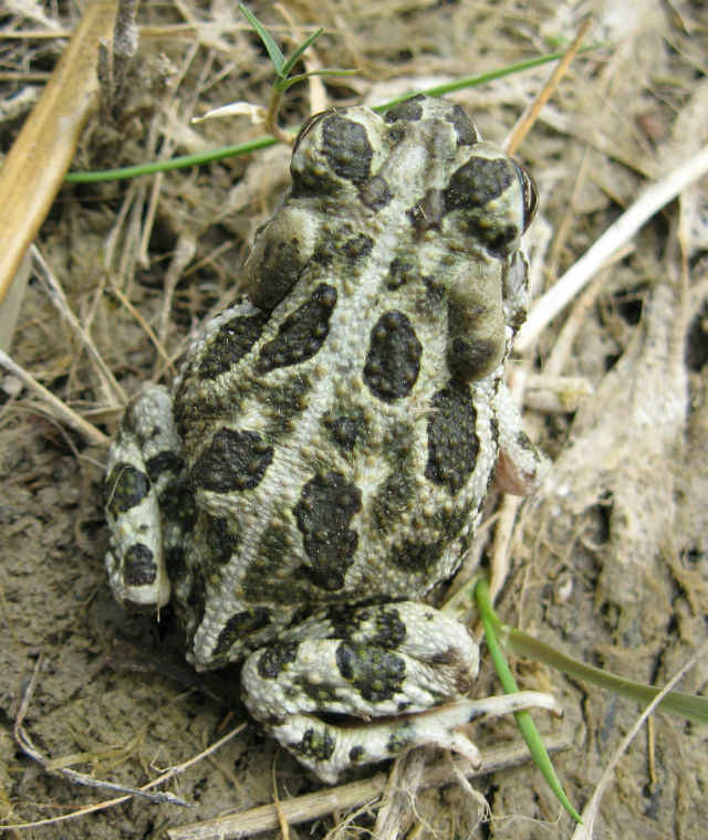 Great Plains Toad 102