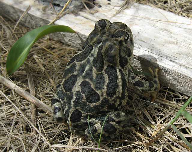 Great Plains Toad 110