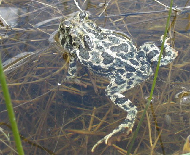 Great Plains Toad 112