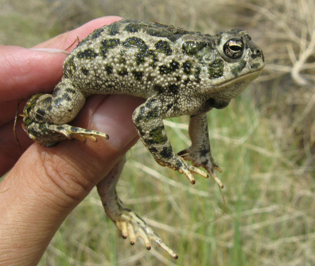 Great Plains Toad 115