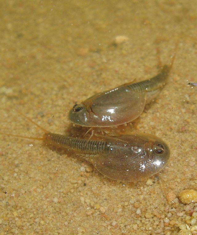 Tadpole Shrimp 107