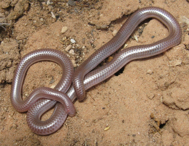 Western Blind Snake 259