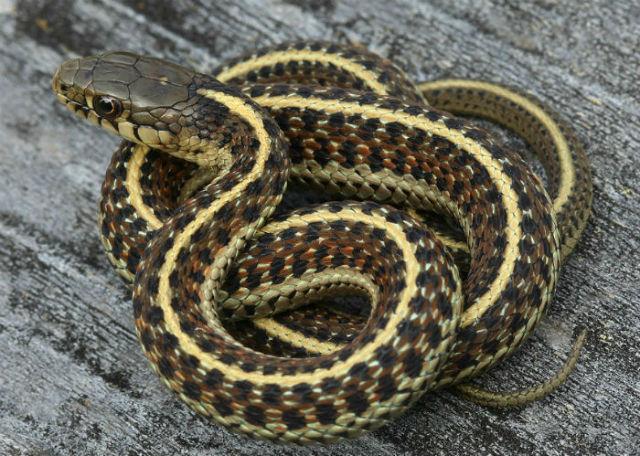 Coast Garter Snake 20102