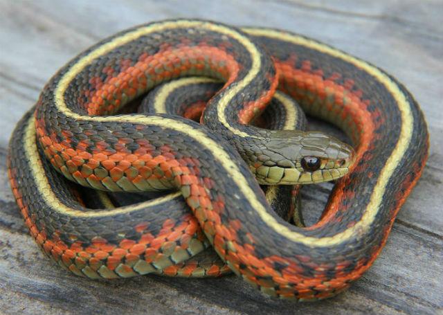 Coast Garter Snake 20bf28