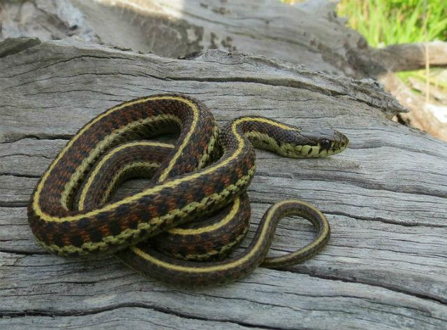 Coast Garter Snake_1075