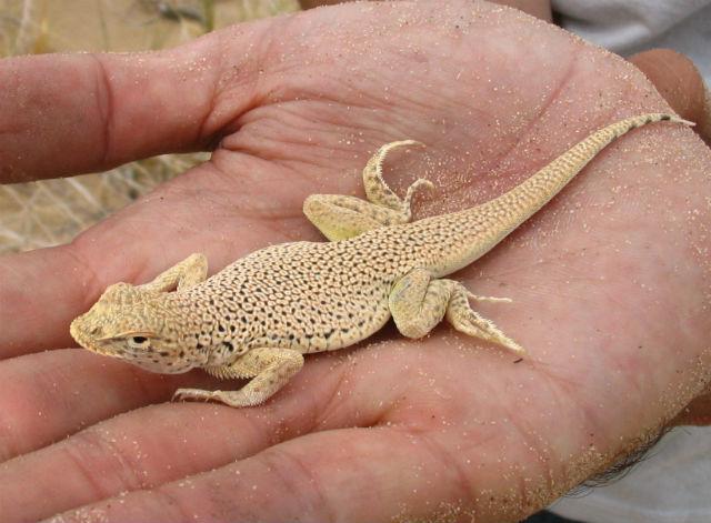 Mojave Fringe-toed Lizard_2946
