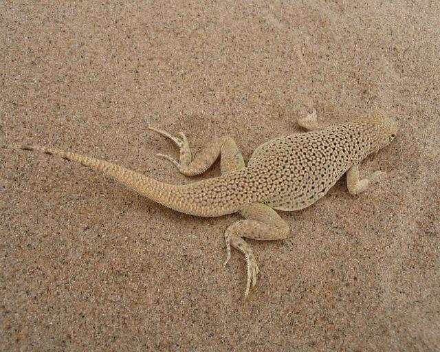 Mojave Fringe-toed Lizard_2954