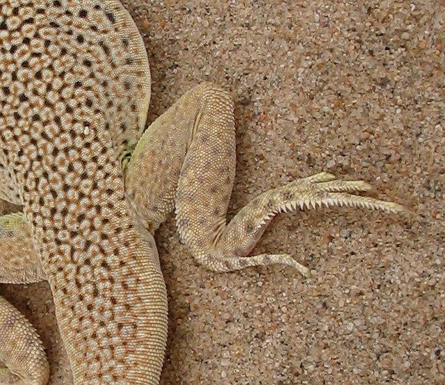 Mojave Fringe-toed Lizard_2955