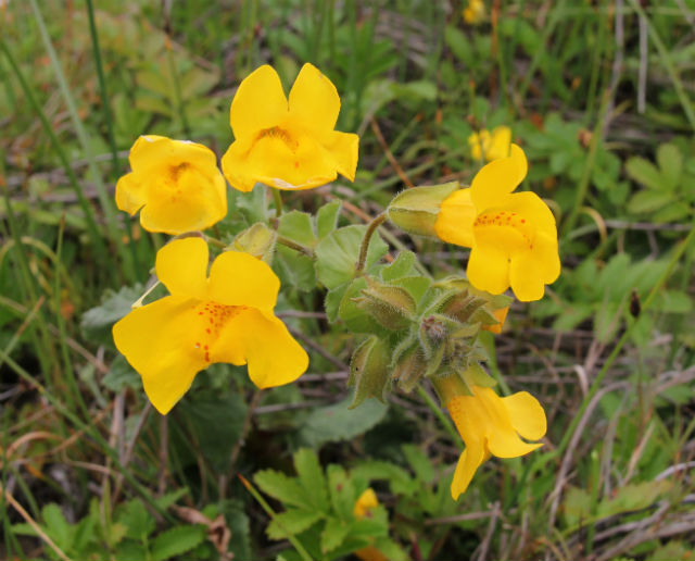 Yellow Monkey Flower_9275