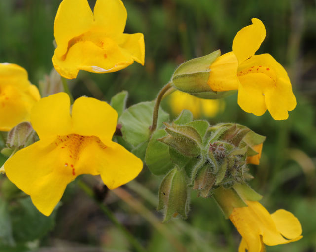 Yellow Monkey Flower_9276