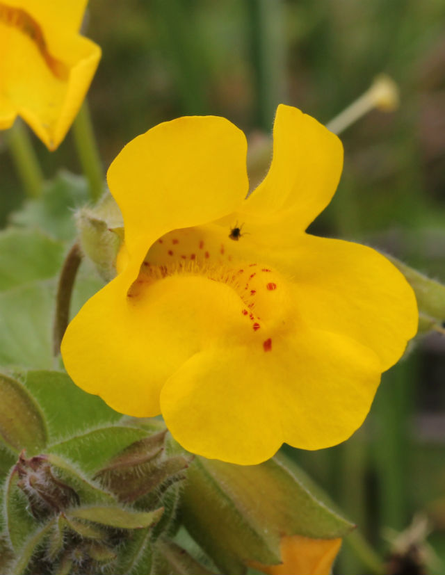 Yellow Monkey Flower_9283
