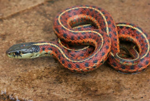 coast garter snake 20002