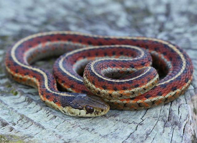 coast garter snake 20037