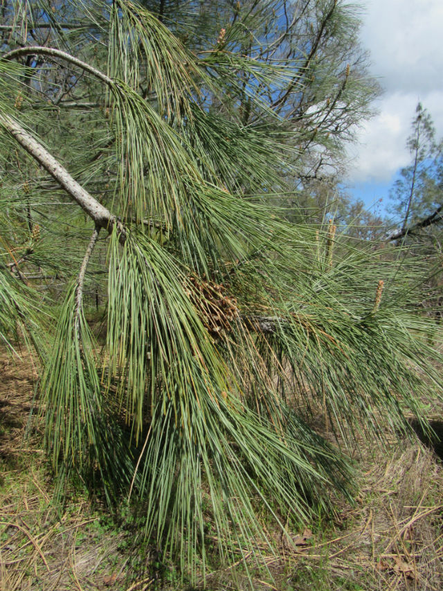Coulter Pine_4332